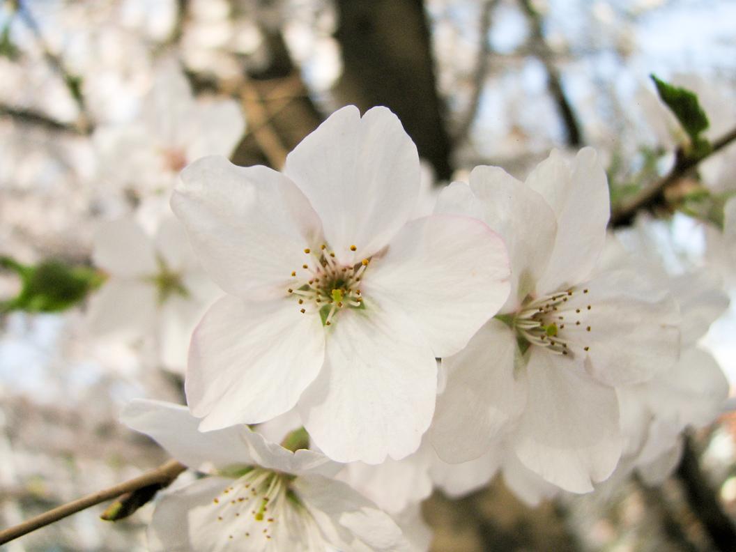벚꽃 접사